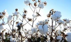 Cotton-field-008-300x180